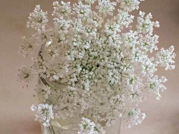 How to Dye Queen Anne's Lace - Plant Close Up