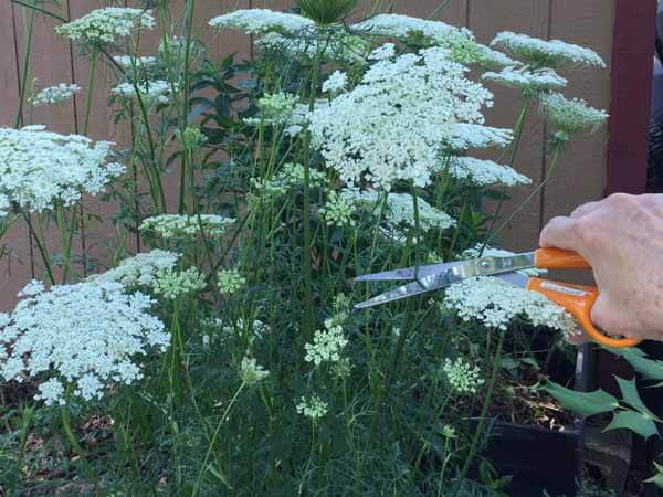 How to Dye Queen Anne's Lace - Cut Stems