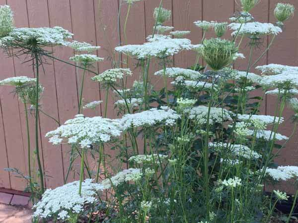 How to Dye Queen Anne's Lace - Plant
