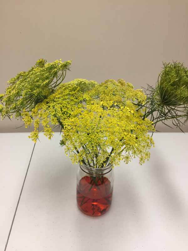 How to Dye Queen Anne's Lace - Stems taking in more Color