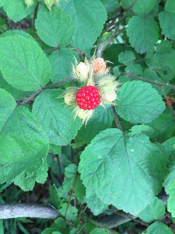 Foraging Wineberry - Closeup of Ripe Berry