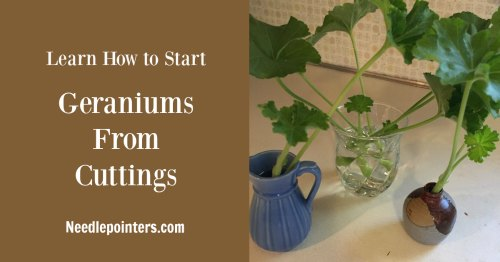 How to Start Geraniums from Cuttings