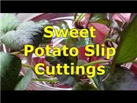 Sweet Potatoes - Cutting Slips